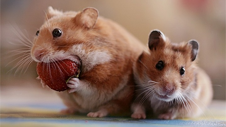 hamster-comida2