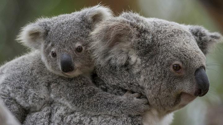 koala-cria