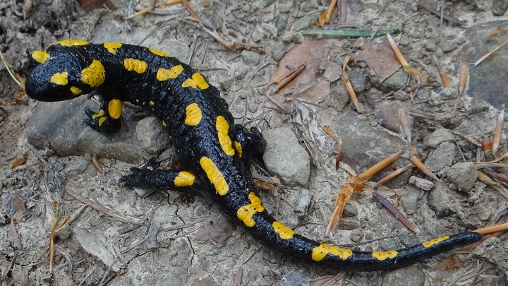 salamandras1