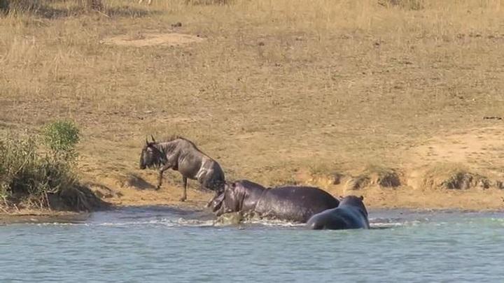 hipopotamos-nu