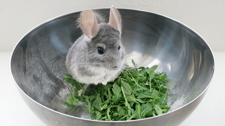 Chinchilla1