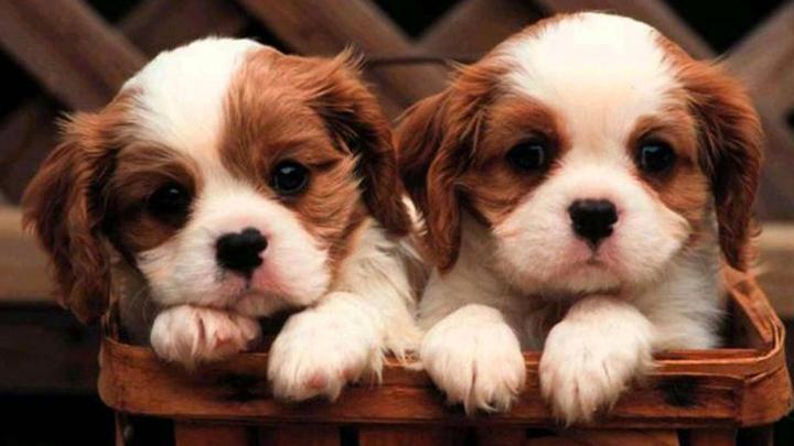 clonar-perros