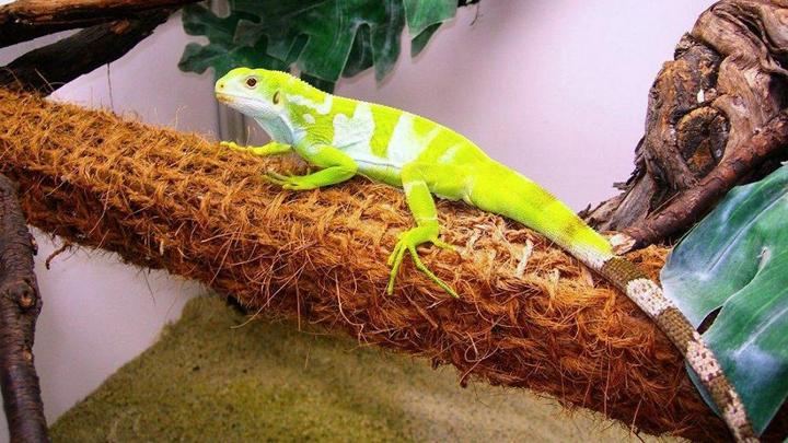 terrario-iguana