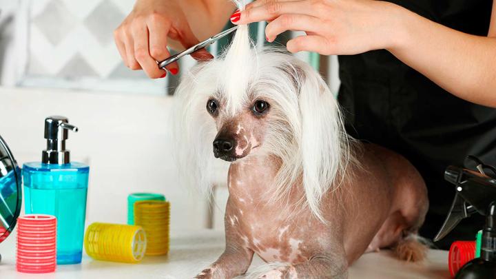 perros-peinados