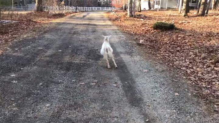 perro-pastor