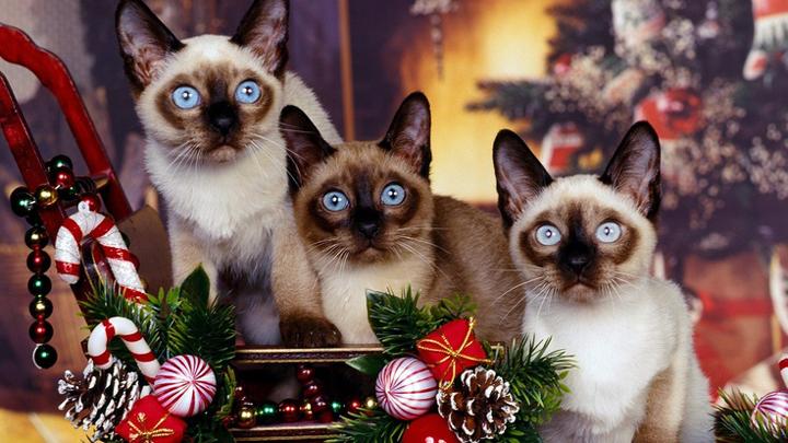 plantas-navidad-gatos