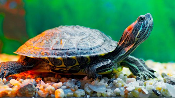 tortuga-agua