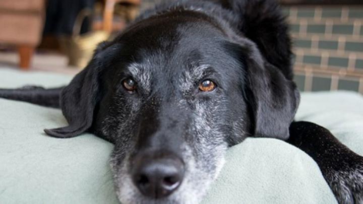 artrosis-perro