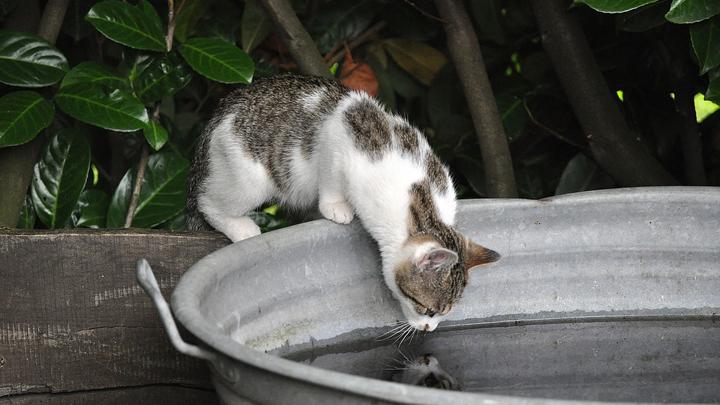 gato-agua