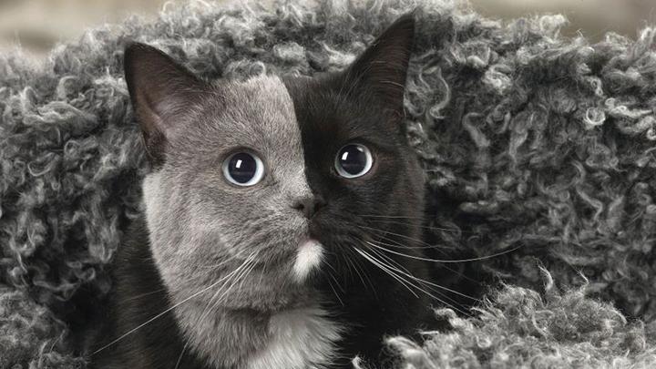 gato-dos-caras