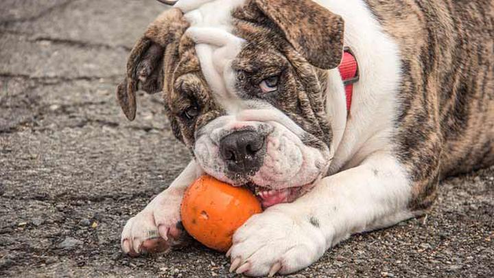 perros-naranja