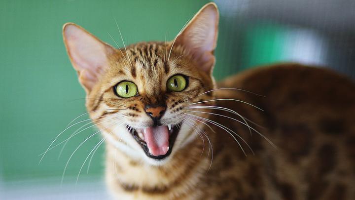 lenguaje-gatos