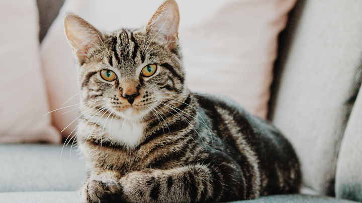 gatos-diabetes