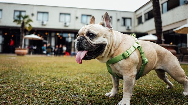 perros-inteligencia
