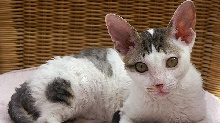 cornish-rex