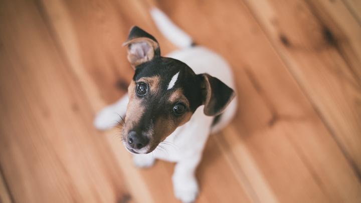 parasitos-perros