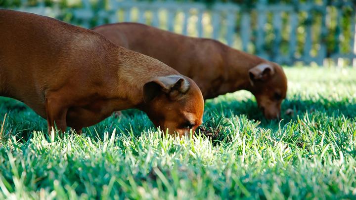 comida-algas-perros