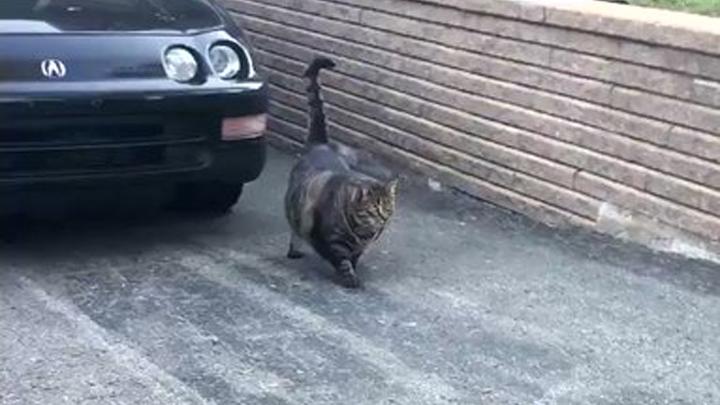 gato-culturista