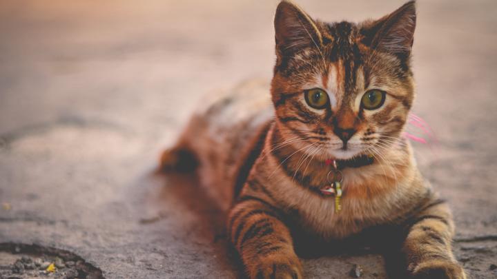 orina-gato