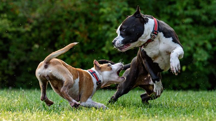 torsion-estomago-perros