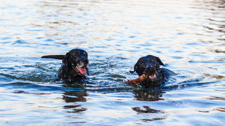 perros-piscina