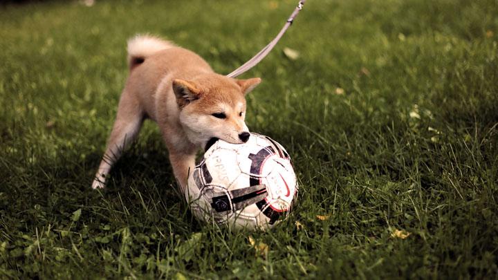 perros-juguetes