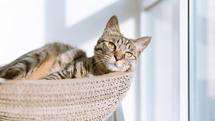 ronroneo-gatos