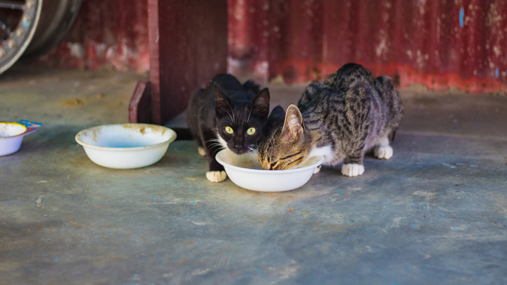 gatos-bebiendo