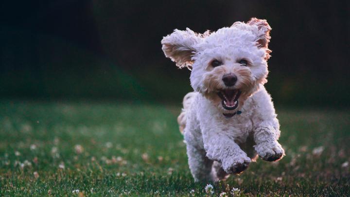 perros-orejas