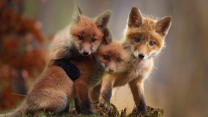 zorros-mascotas