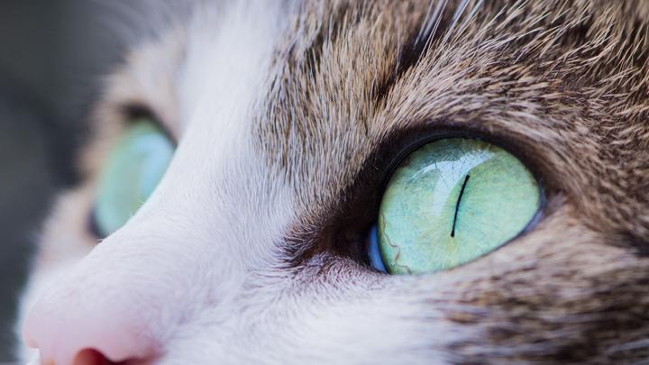 anisocoria-gatos