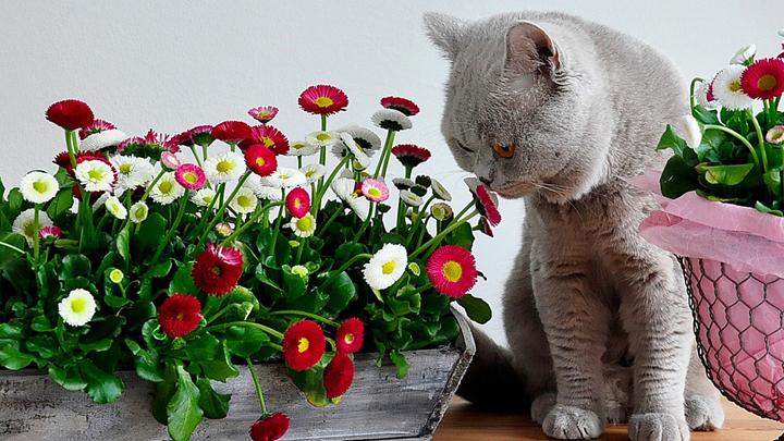 flor-de-pascua-gatos