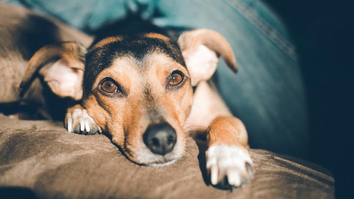 perros-leishmaniosis