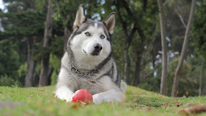 perro-chino