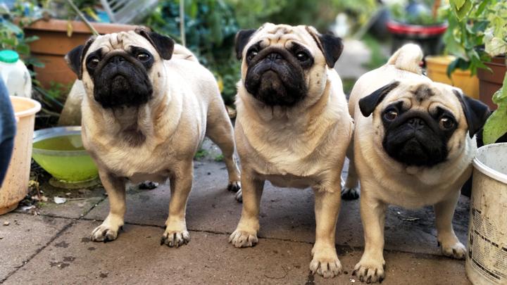 perros-sobrepeso