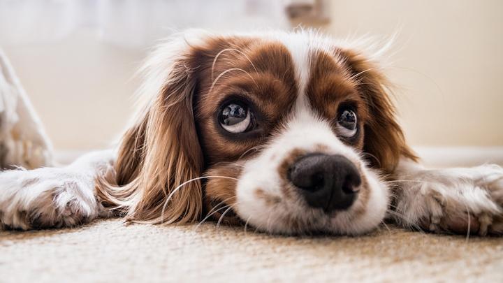 filarosis-canina