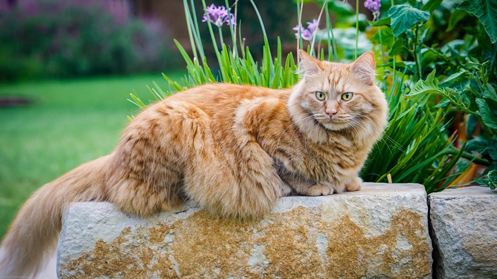 gatos-grandes