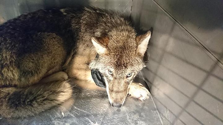 lobo-perro