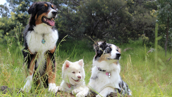 perros-alergias