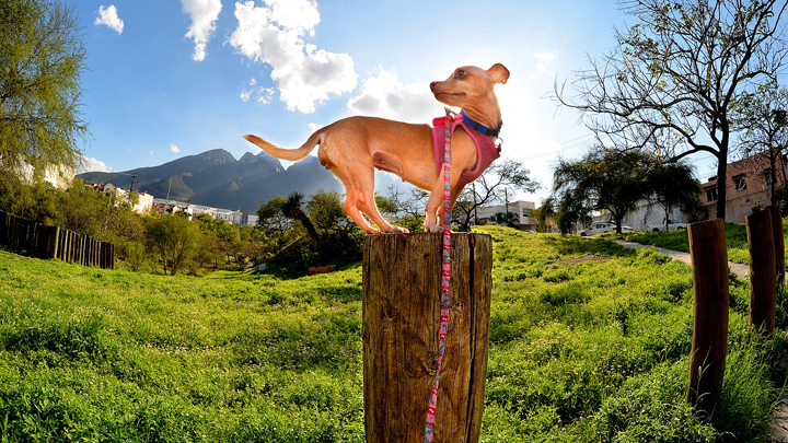 perros-procesionaria