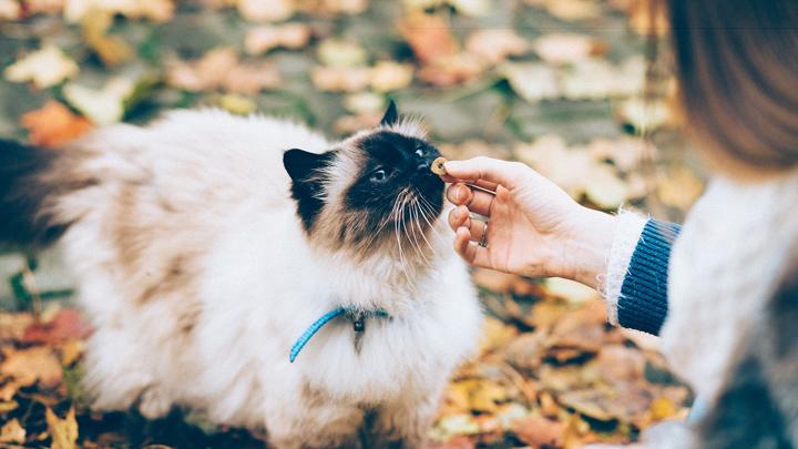 gatos-taurina