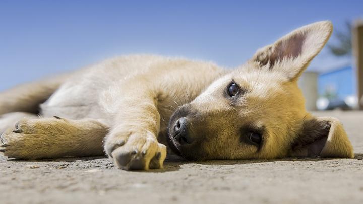perros-acaros