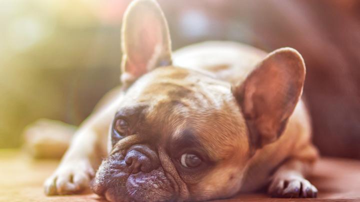 perros-otitis
