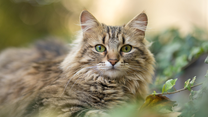 gatos-asma