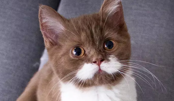 gato-gringo