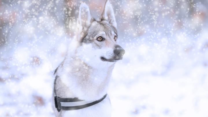 perros-lobo