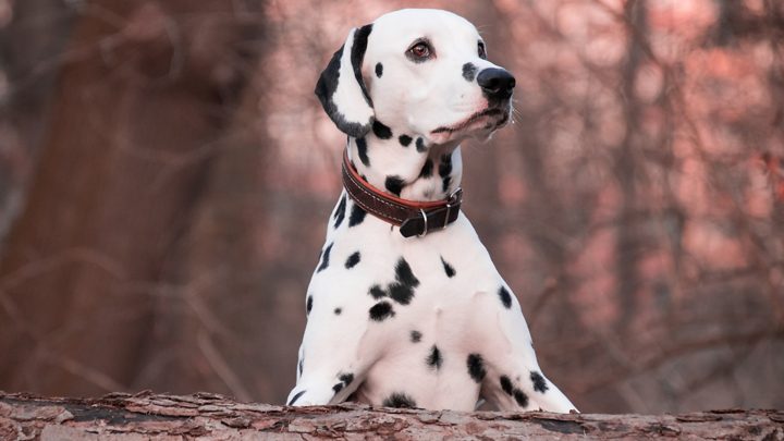 perros-elegantes