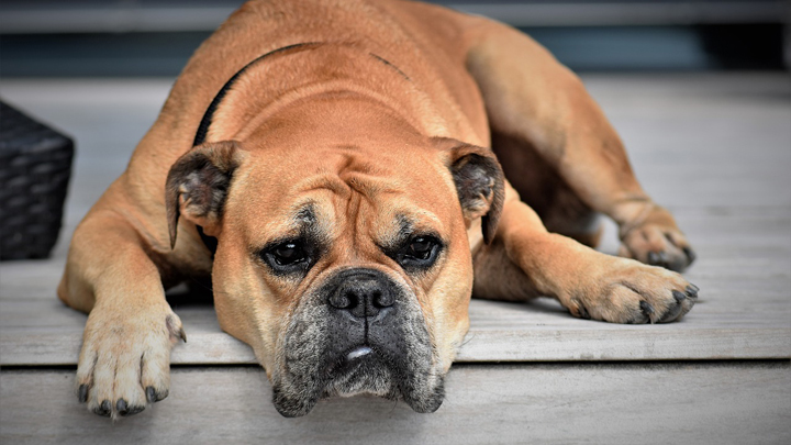 dolor-mascotas