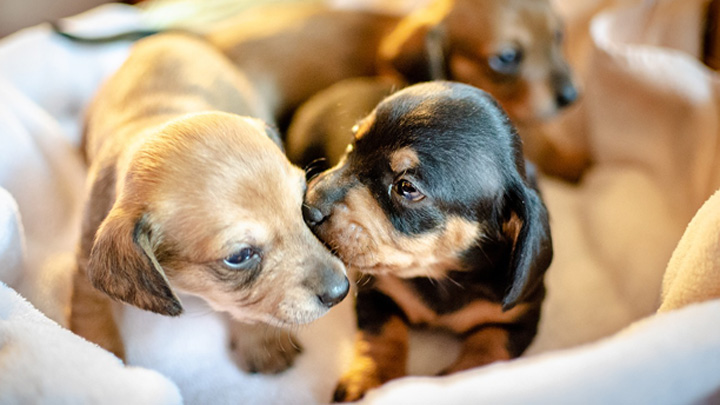 embarazos-psicologicos-perras