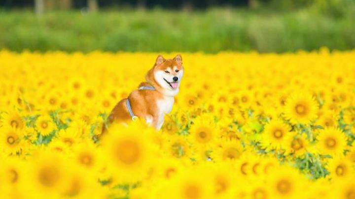 perro-japon